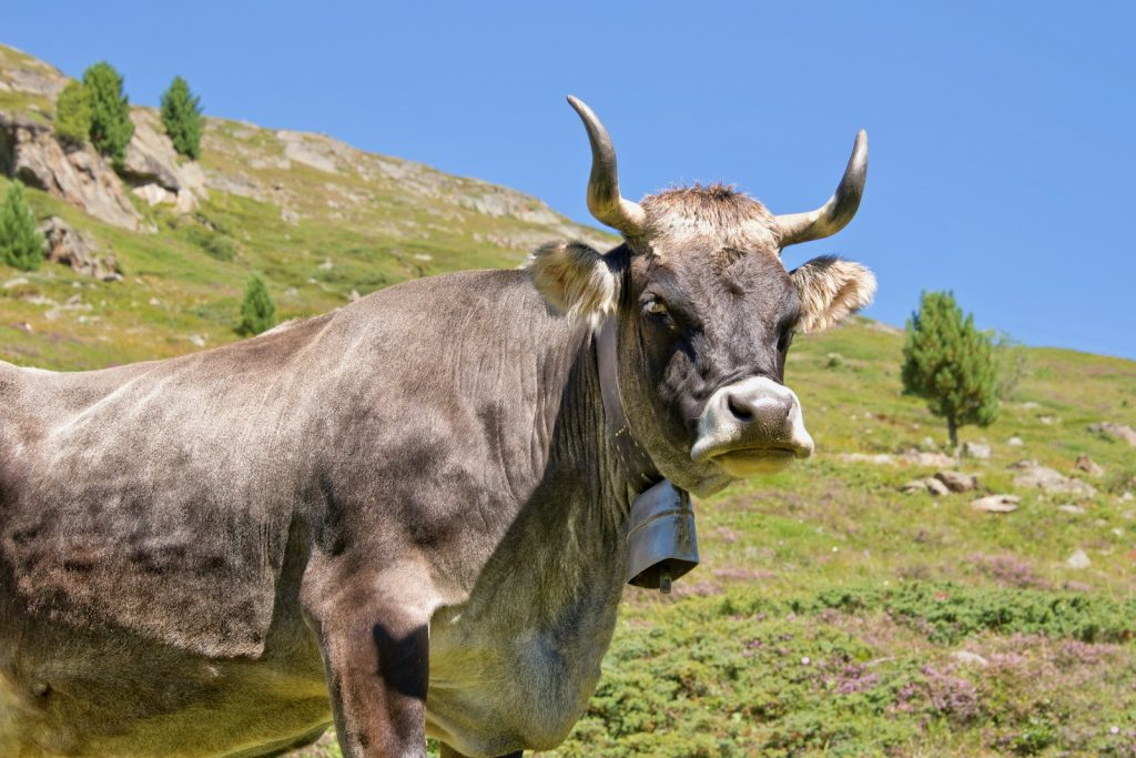 Tyrolese Grey Cattle can be kept for both milk and meat.