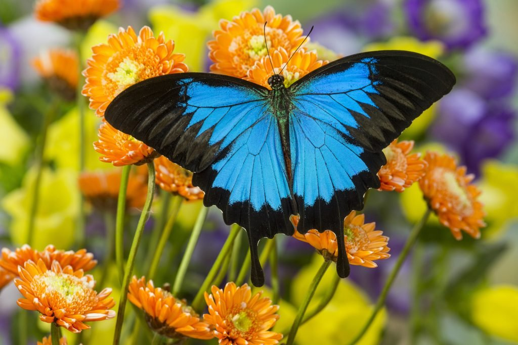 The Ulysses Butterfly is known as the blue emperor as well.