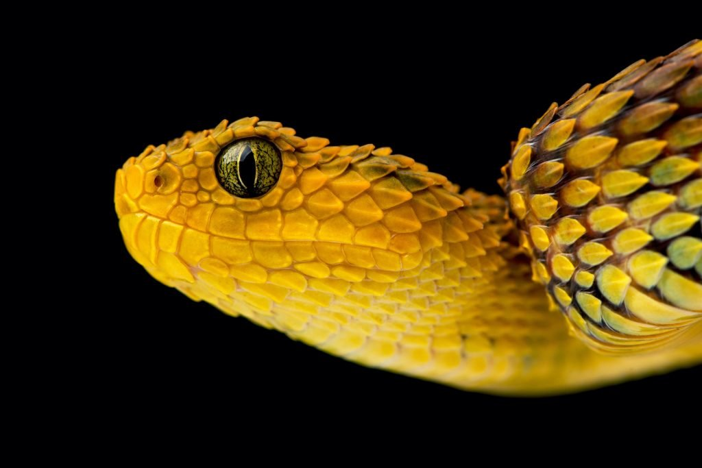The variable bush viper's venom has caused at least two documented deaths.