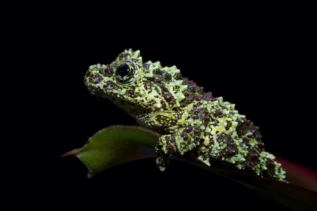 Vietnamese Mossy Frogs have bodies that are a mottled pattern of green and brown.