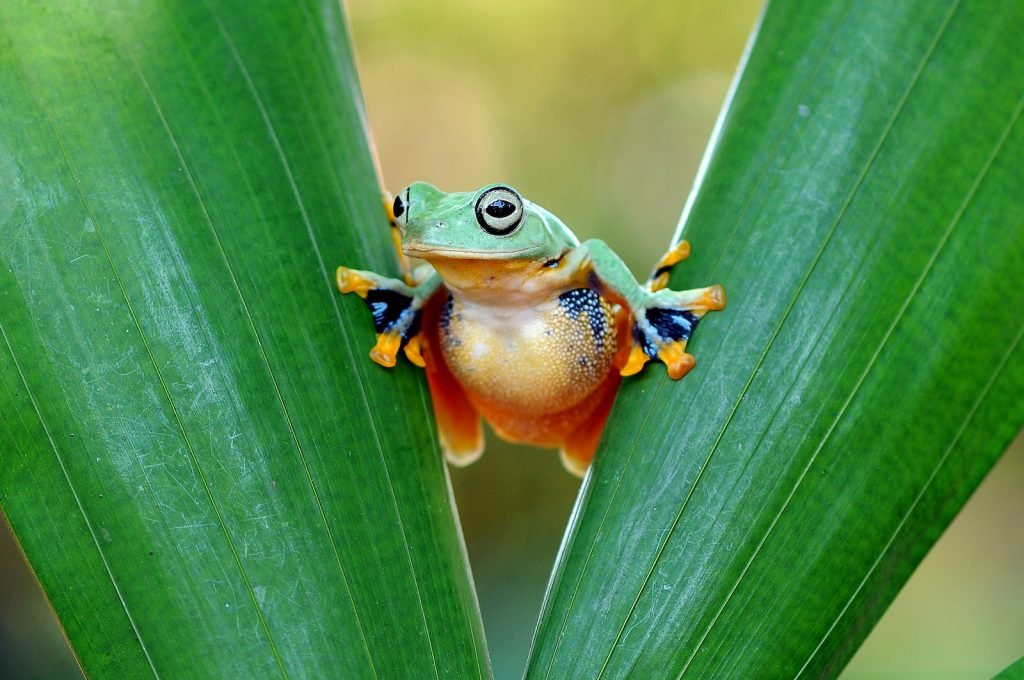 Wallace's Flying Frog are mostly a shiny green in color, although their toes have some bright yellow coloring.