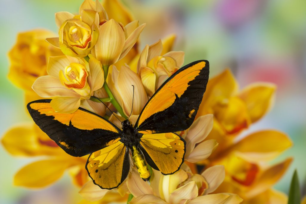 Wallace's Golden Birdwing is named after Alfred Russell Wallace.
