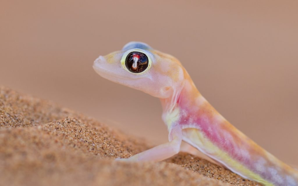 Close up of a single web-footed gecko sitting in the sand