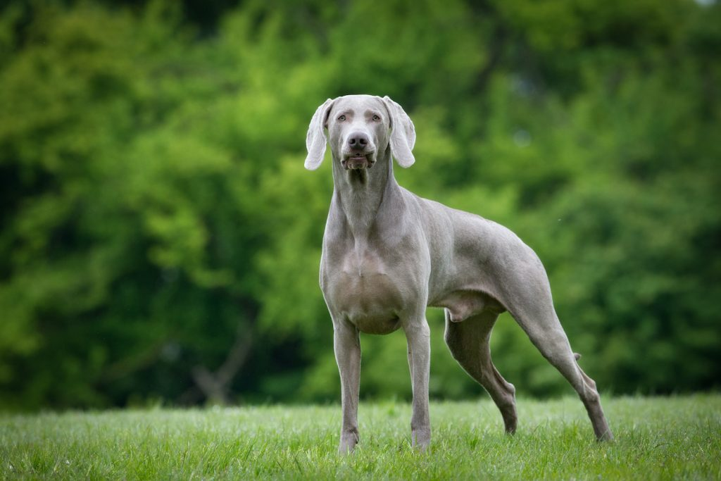 Weimaraners were originally bred as big-game hunting dogs for the German elite.