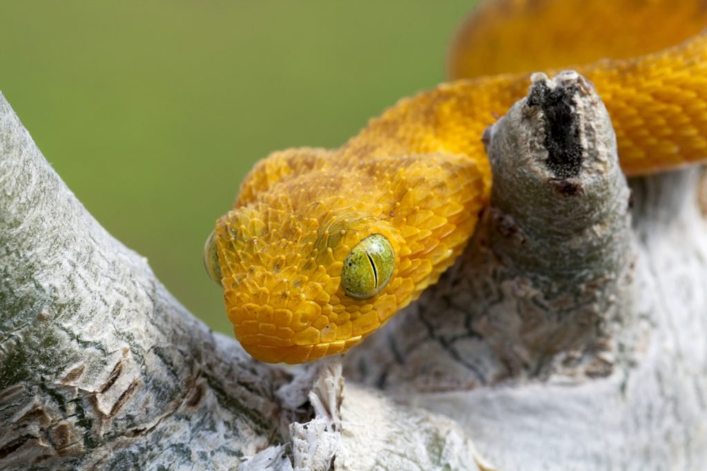 The western bush viper looks both prehistoric and sleek at the same time.