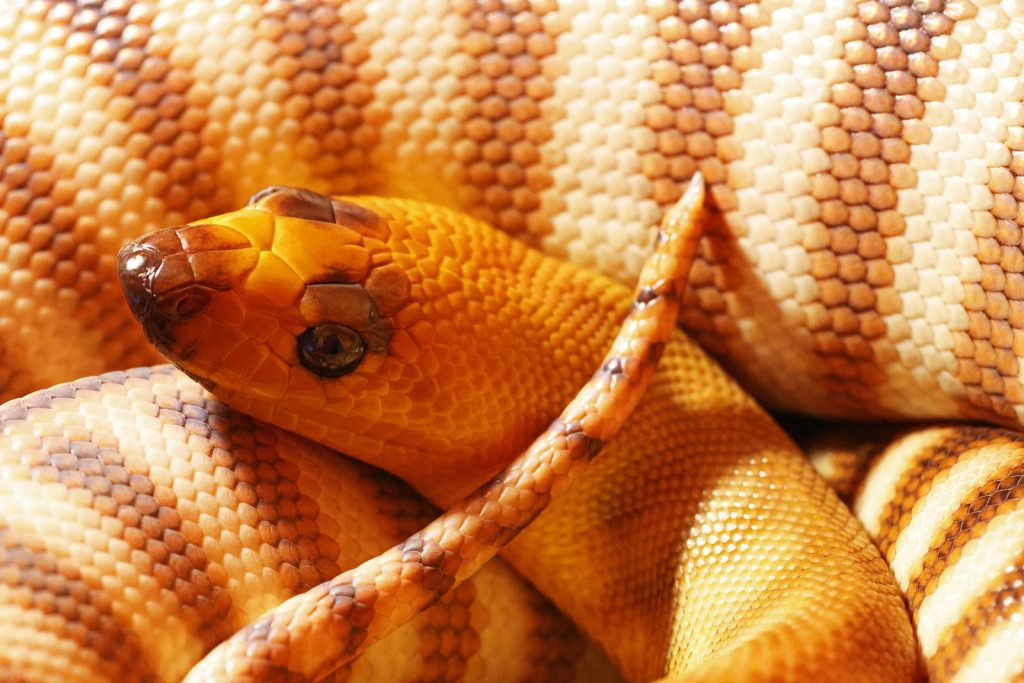 The Woma Python is probably one of the best pythons to keep as a pet.