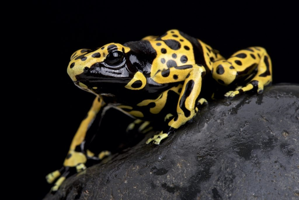 As the name suggests, Yellow-Banded Poison Dart Frogs produce and release toxins.