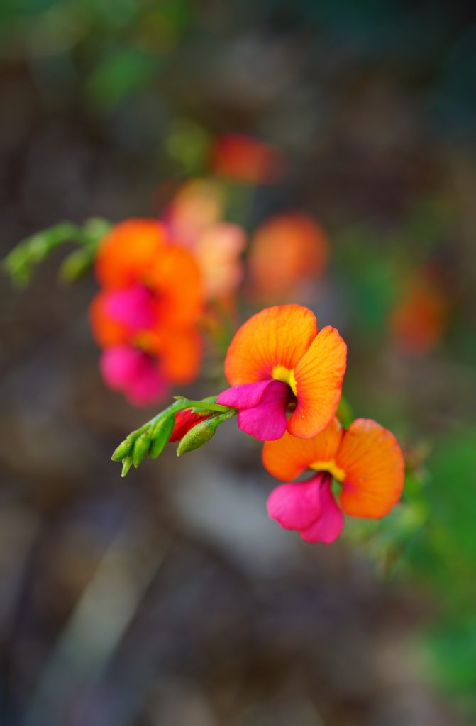 The Yellow-Eyed Flame Pea Prefers sandy or clay-like soils.