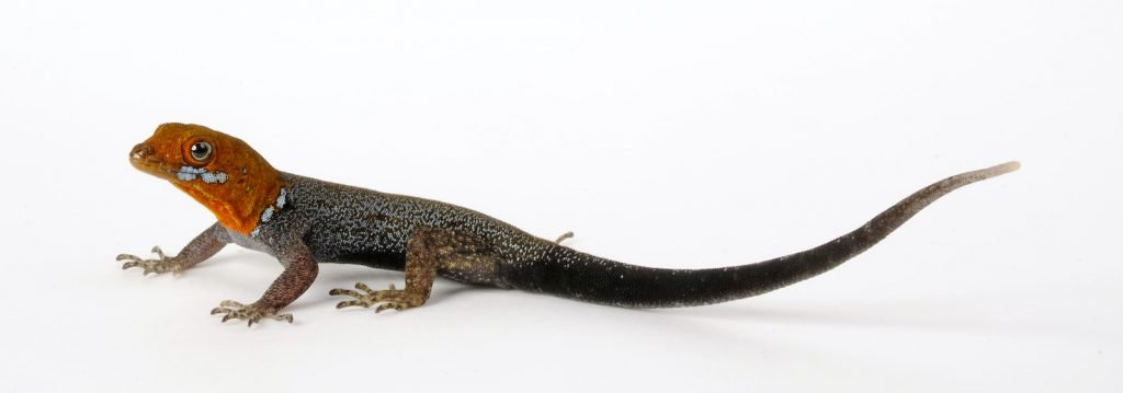 The Yellow-Headed Gecko differs from most geckos in a major way; they have claws instead of sticky feet.