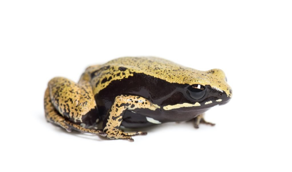 Sometimes, the most striking frogs are those that are almost one solid color. That's the case with the yellow mantella,