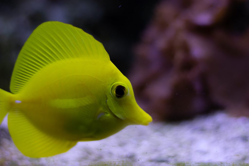 Thanks to their incredibly bright coloration, yellow tang are some of the most popular saltwater fish for keepers of aquariums.