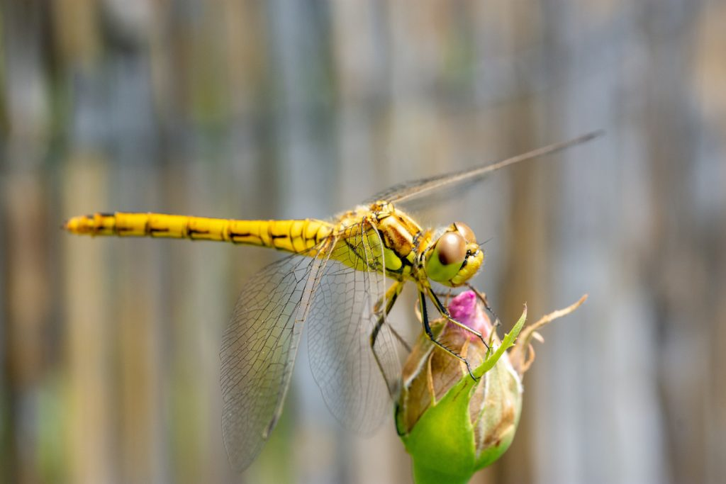 Yellow dragonfly on a flower
