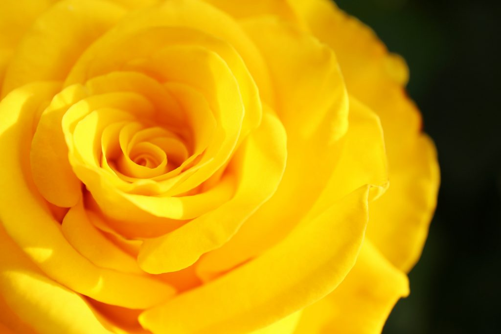 Closeup of beautiful blooming yellow rose head against a dark background