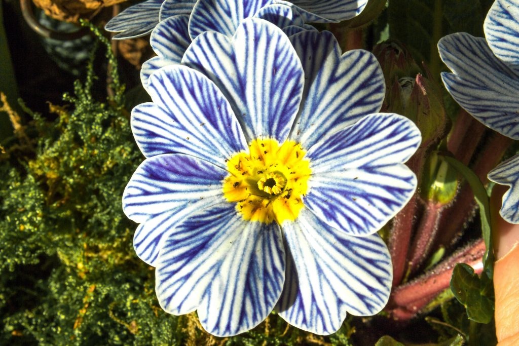 At first glance, the stunning Zebra Blue variety of primrose looks almost artificial.