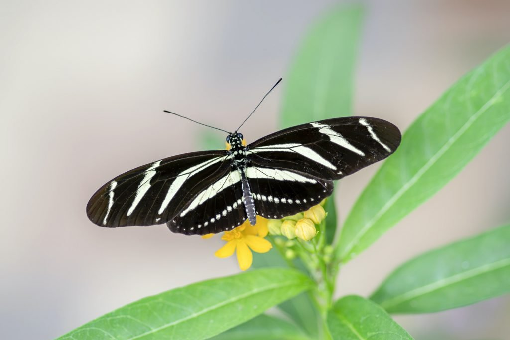 True to the name, the Zebra Longwing has sharply contrasting black and white stripes much like those of a zebra.