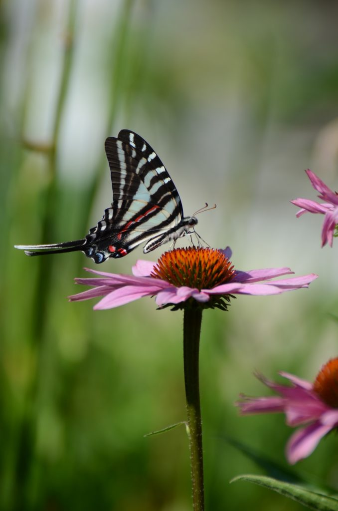 The zebra swallowtail is the state butterfly of Tennessee.