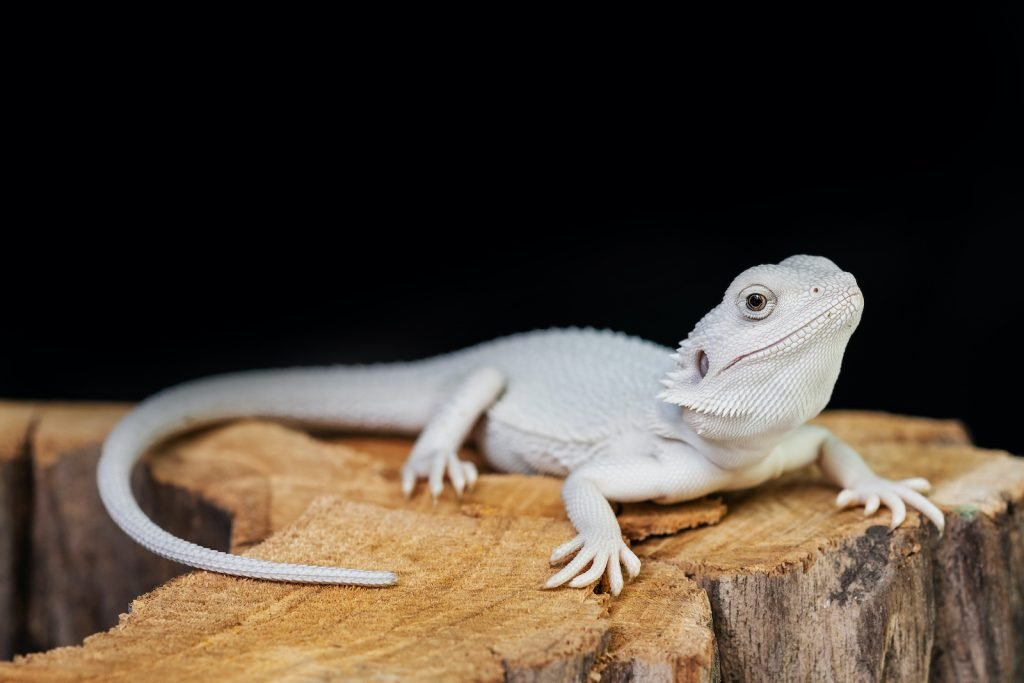The Zero Morph Bearded Dragon has no pattern thanks to its very low levels of melanin.