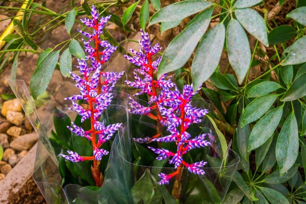 Aechmea blue tango plants with colorful flowers