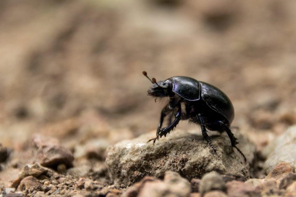 African black beetle aka Heteronychus Arator