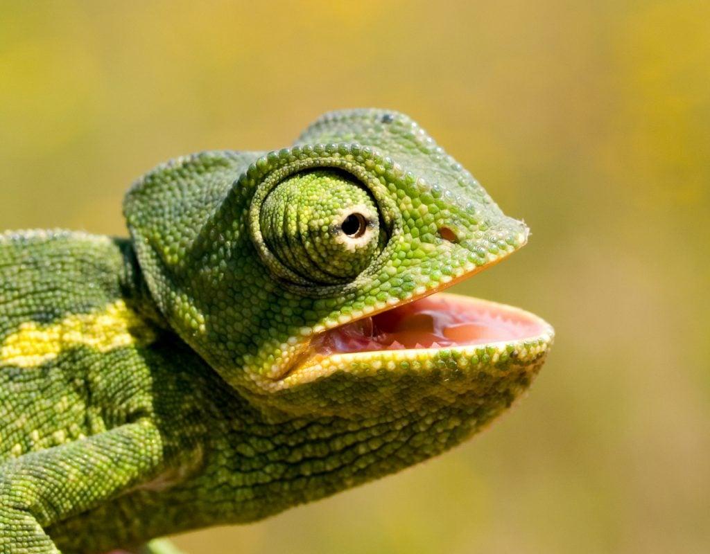Closeup of green african chameleon