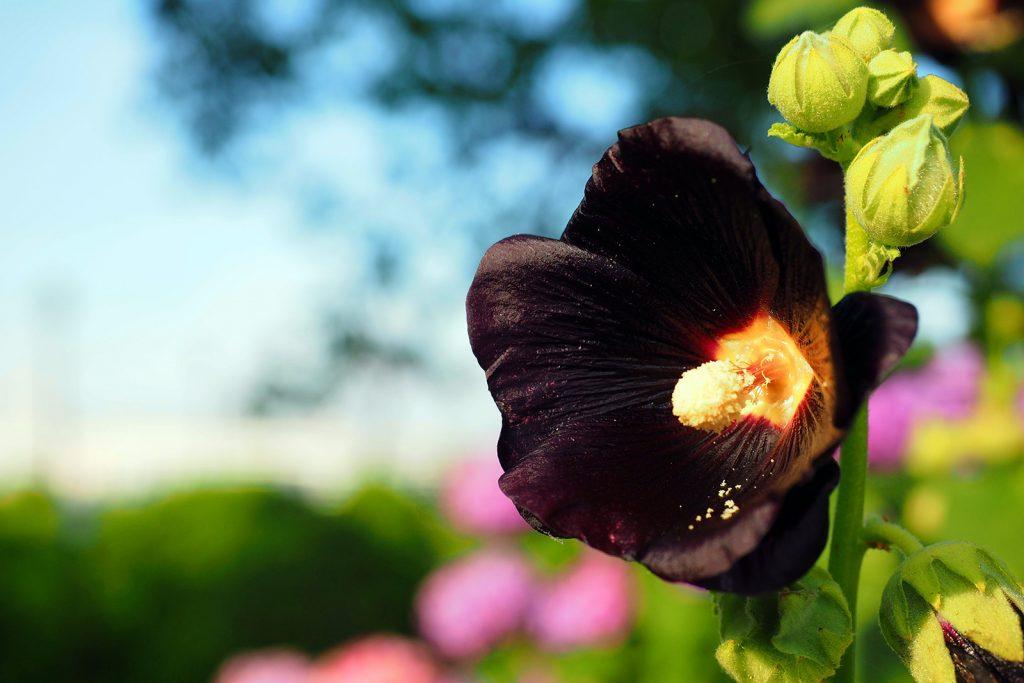 Alcea Rosea Nigra commonly known as black hollyhock in a garden