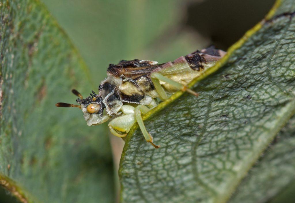 Ambush bug sitting on a green leaf