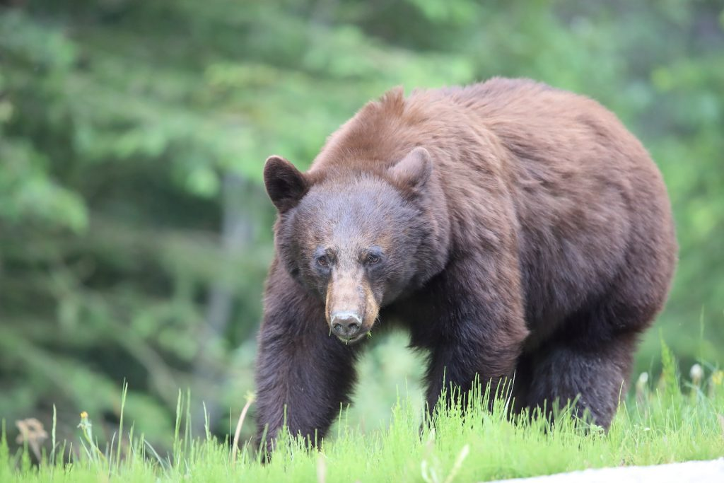 Closeup of American black bear in the forest walking in the tall green grass