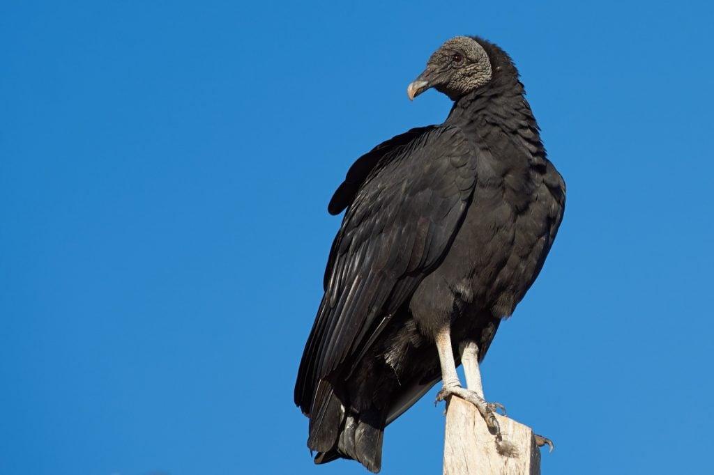 American black vulture aka Coragyps Atratus with a blue sky as the background