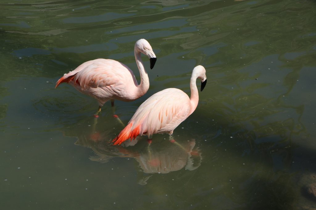 Pink flamingo is giving attention to girlfriend on the lake