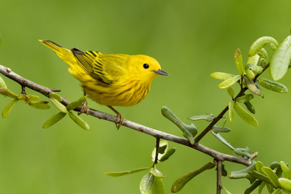 Adult male Yellow Warbler sitting on a small branch with a green blurred background