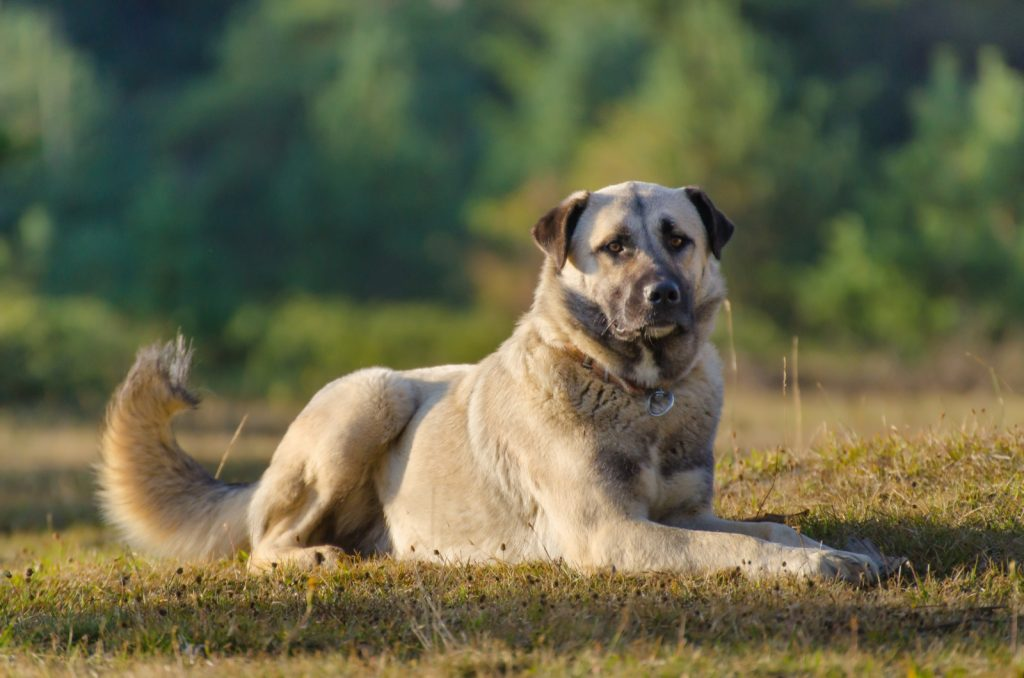 Anatolian shepherd aka kangal shepherd dog from Turkey