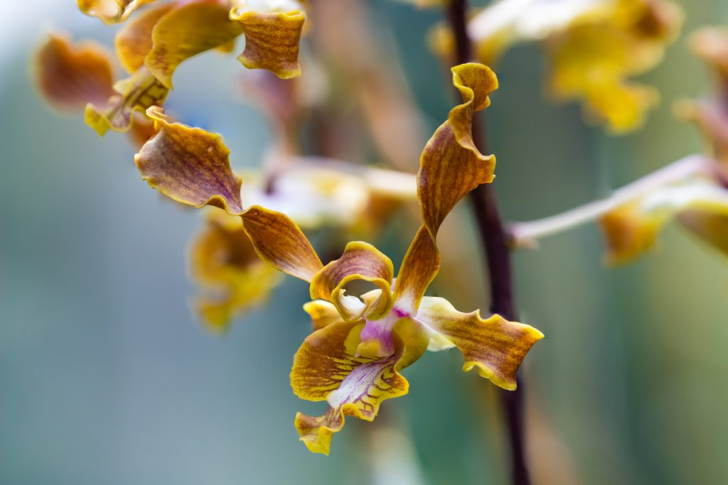 Close up of antler orchid in brown, yellow and purple colors