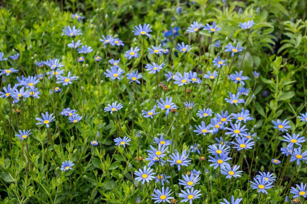 Area of blue daisies called Felicia Amelloides