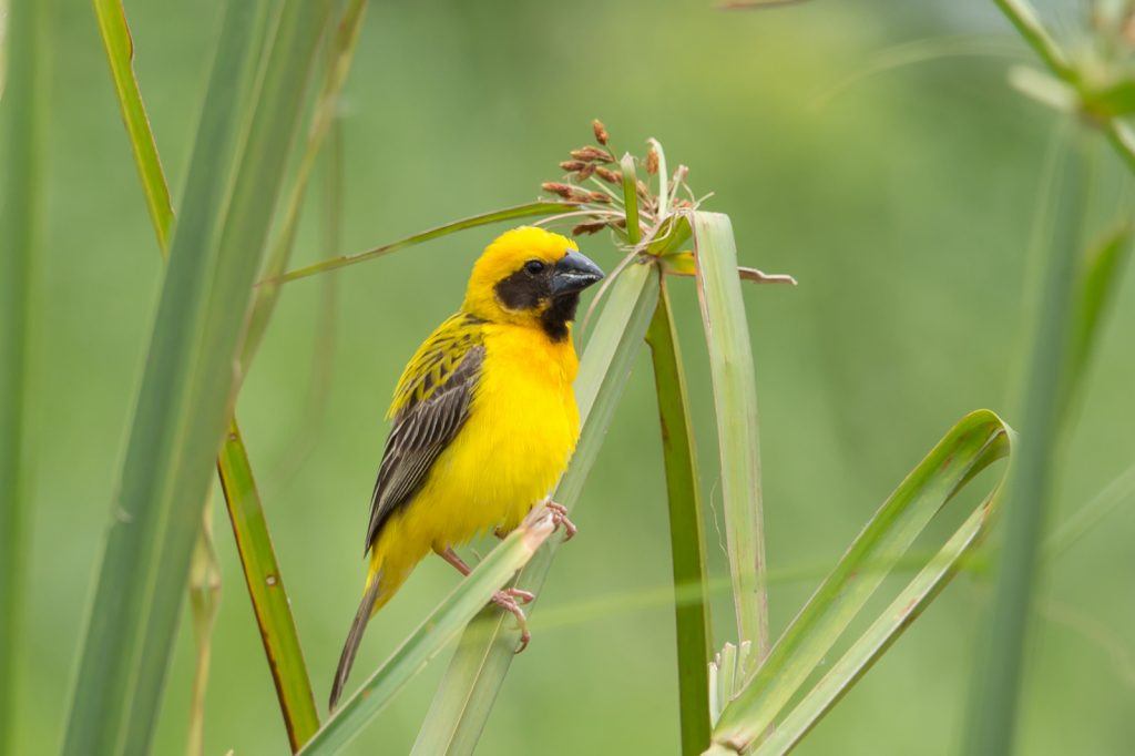 Male Asian golden weaver sitting on a  rice straw in rice field
