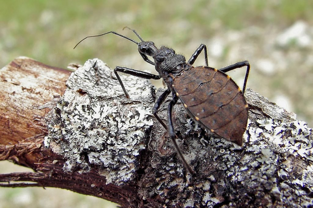 Black assassin bug or Reduviidae member of the Hemiptera family of true bugs