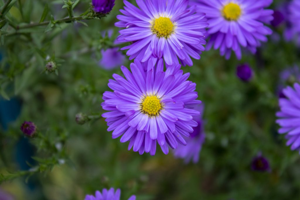 Blooming purple Aster flower heads in a garden top view