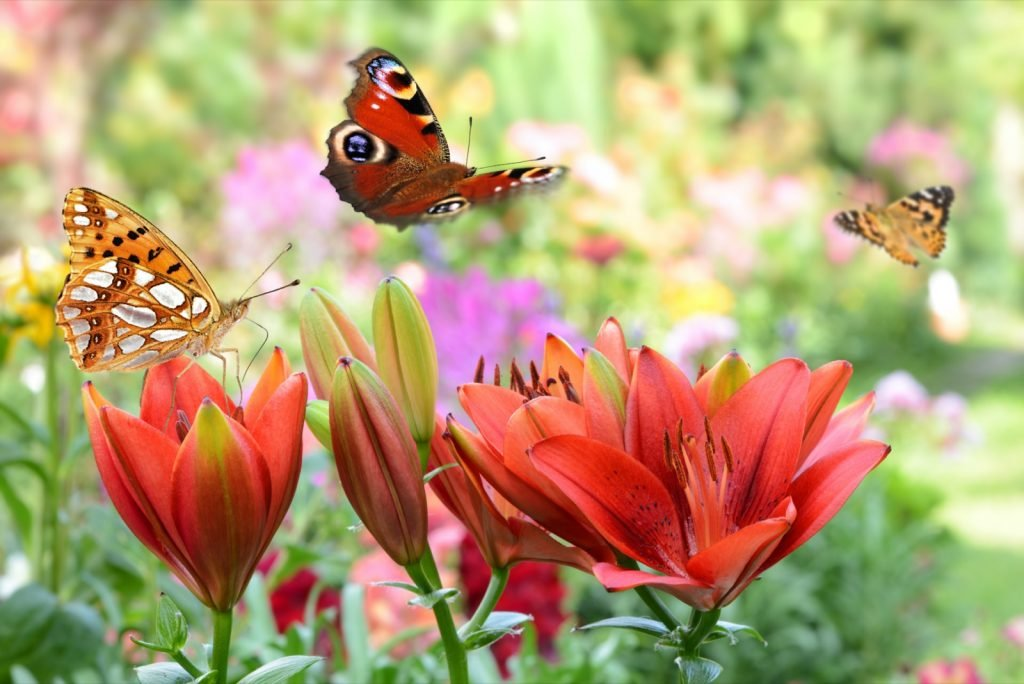 Several different types of butterflies attracted to colored flowers