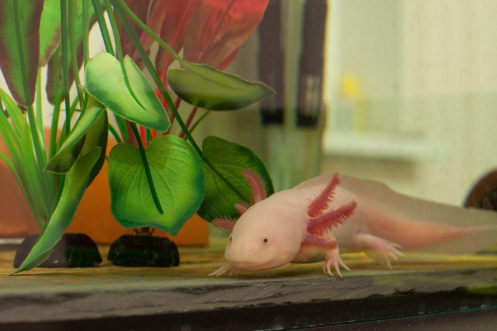 Axolotl sitting on the bottom floor in an aquarium