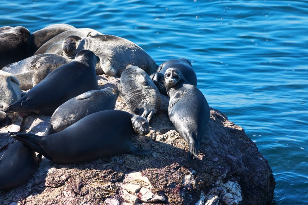 Black baikal seal pinnipeds lying in the sun on a small stone island