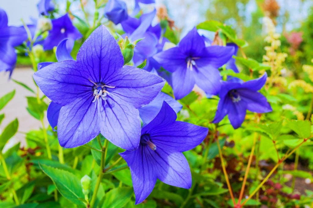Balloon Flowers or Platycodon Grandiflorus with blue petals