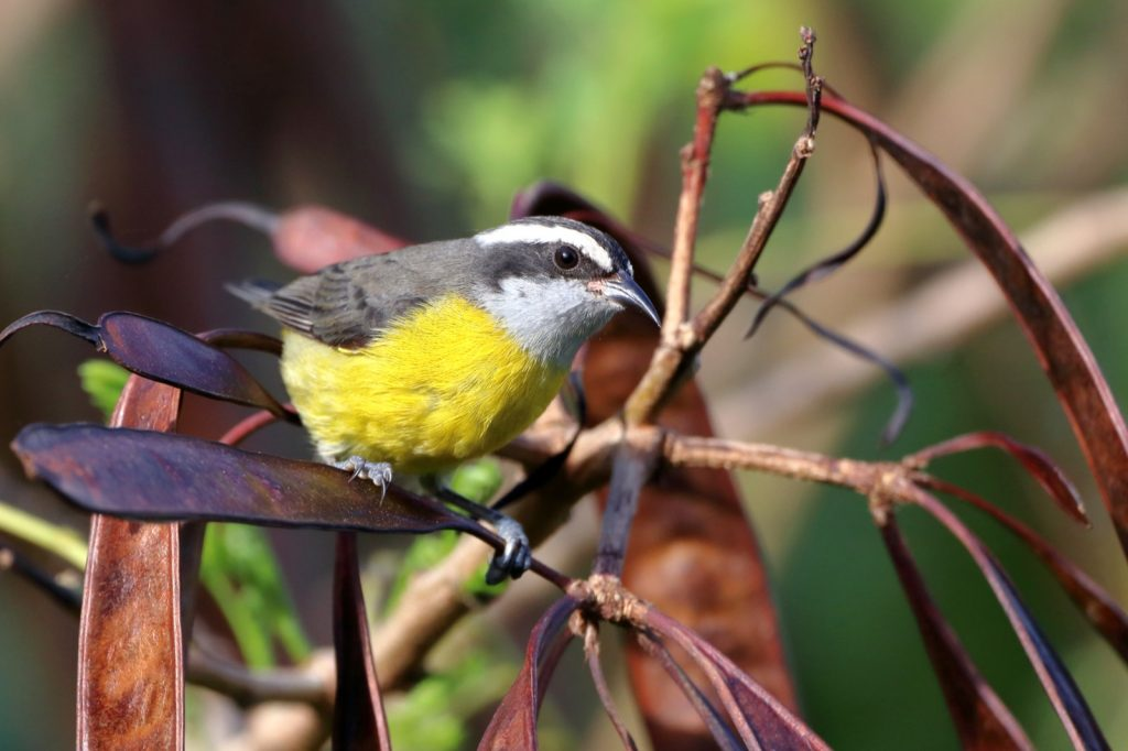 Bananaquit or Coereba Flaveola perched on seed pods of a tree