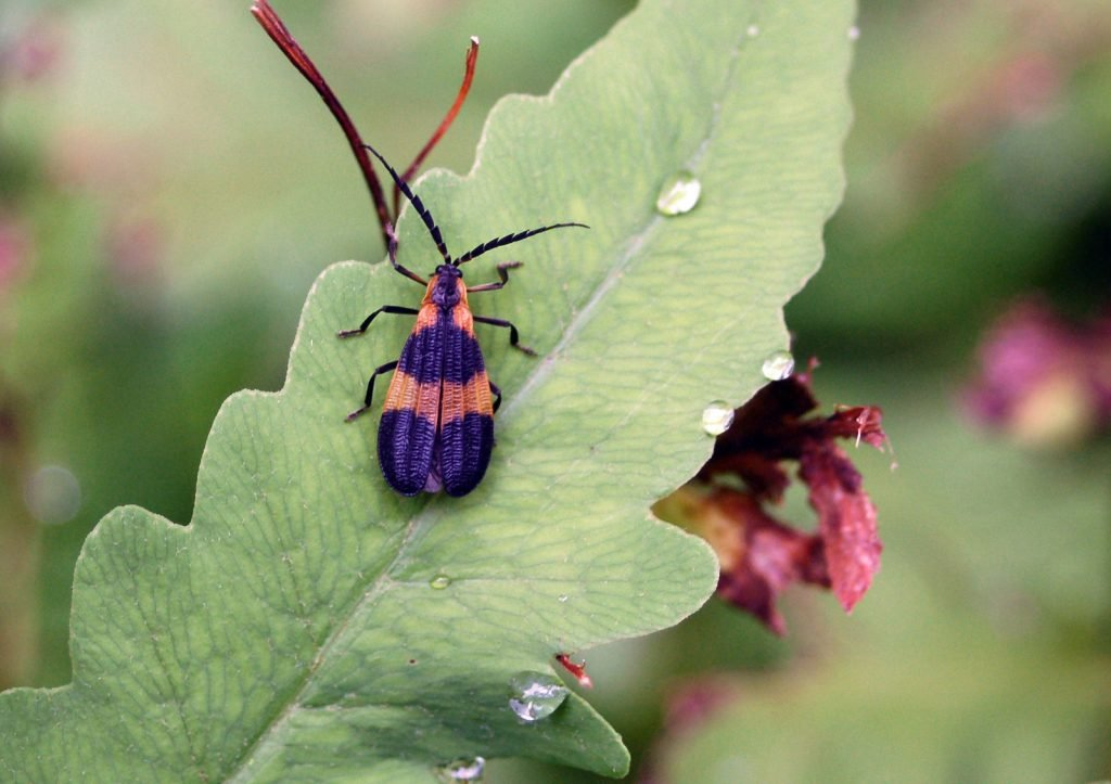 Closeup of banded Net-Winged Beetle sitting on a green leaf