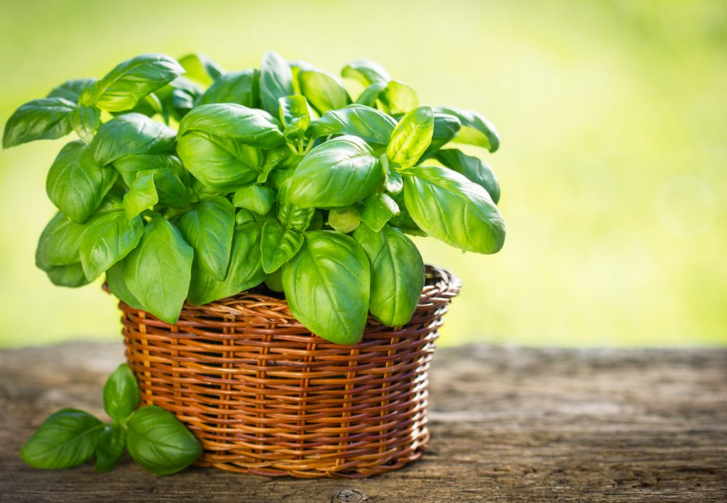 Basil plant in an basket on a wooden table