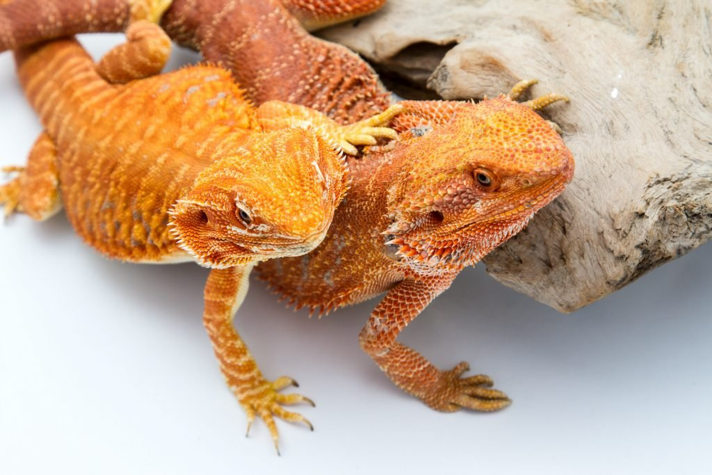 Two orange bearded dragons sitting close together by a piece of drift wood on a white table