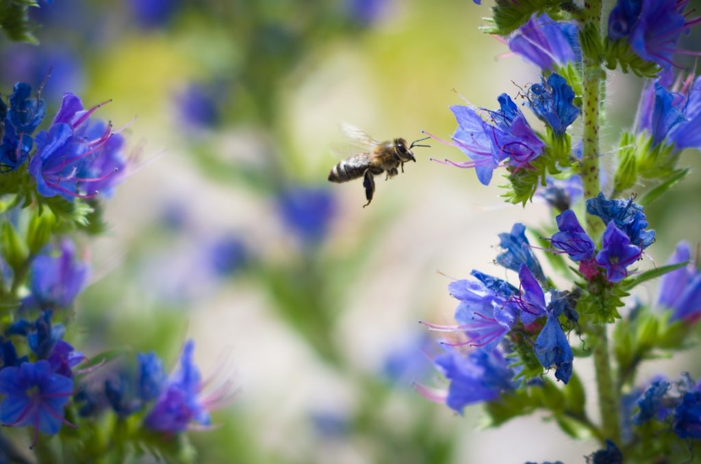 Bee flying and collecting nectar from blue flowers