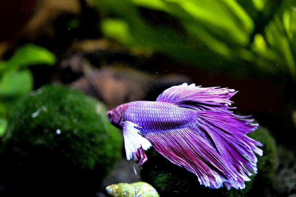 Purple betta fish swimming in aquarium