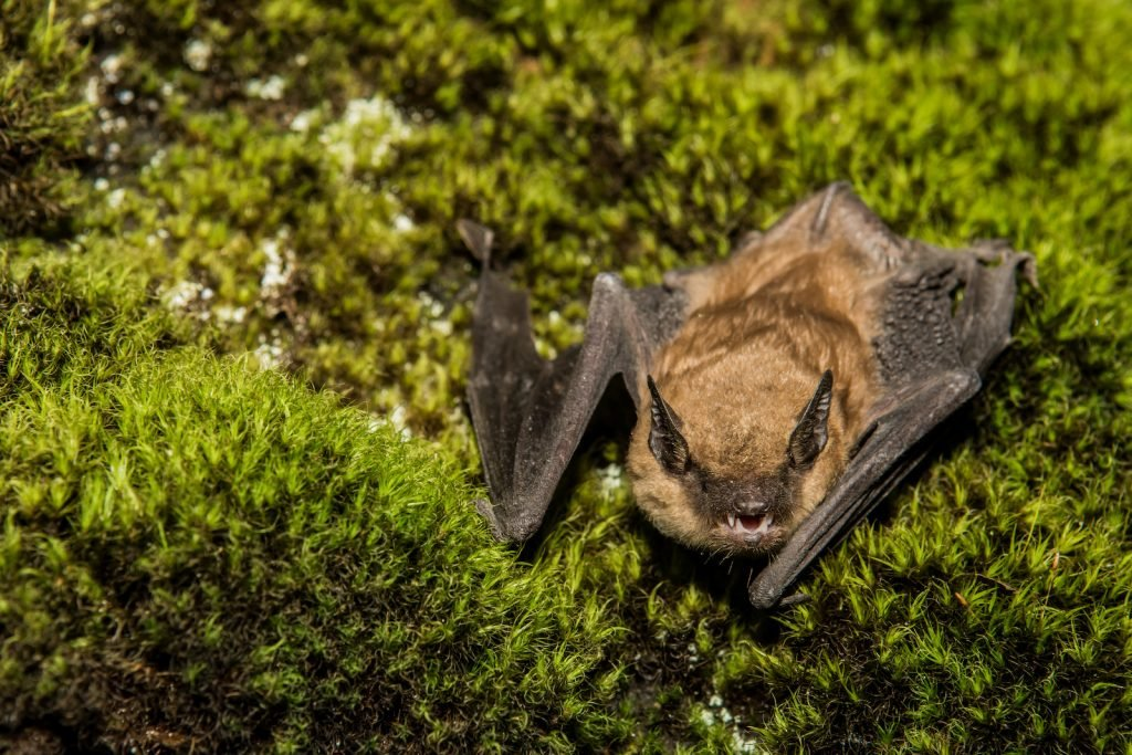 Close up of big brown bat