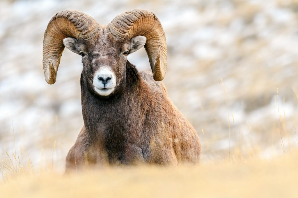 Close up of a big horn sheep sitting in tall yellow grass with a blurred background