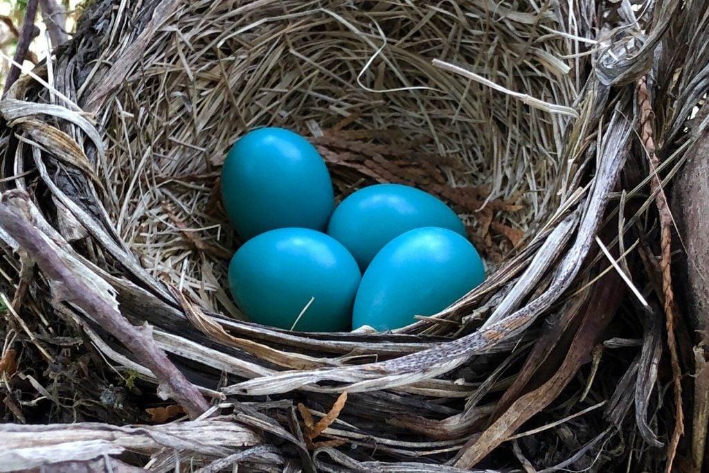 Bird nest with blue-green robin's eggs