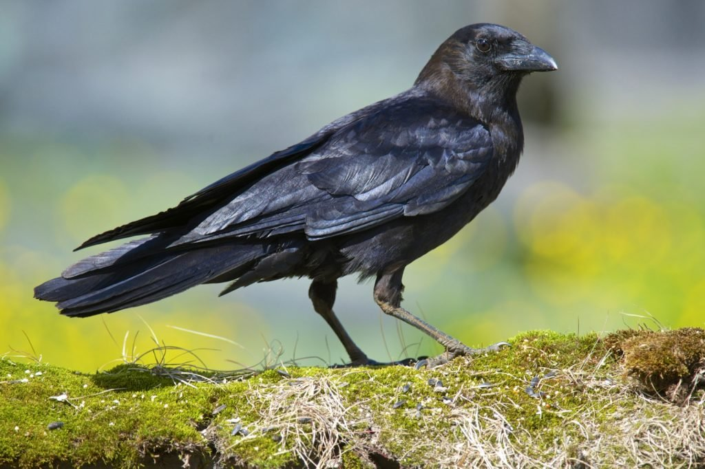 Black American crow standing on a mossy branch